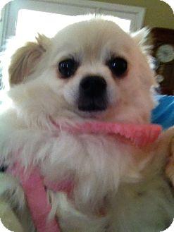 Pomeranian Mix Dog for adoption in Gilbert, Arizona - Alyssa
