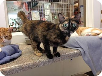 Domestic Shorthair Cat for adoption in Cashiers, North Carolina - Natalia