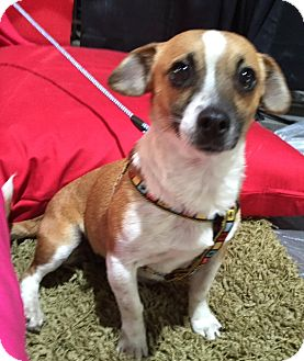 Jack Russell Terrier Mix Dog for adoption in Corona, California - KIKI