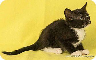 Domestic Shorthair Cat for adoption in Las Vegas, Nevada - Twinkles
