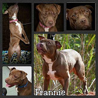Shar Pei Mix Dog for adoption in Miami, Florida - Frannie