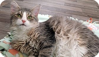Domestic Mediumhair Cat for adoption in Erwin, Tennessee - Glory