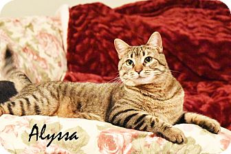 Domestic Shorthair Cat for adoption in Xenia, Ohio - Alyssa