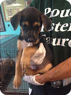 Labrador Retriever Mix Puppy for adoption in Dallas, Texas - Taylor