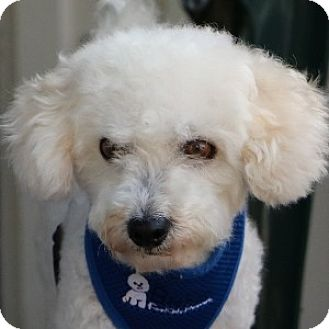 Bichon Frise Mix Dog for adoption in La Costa, California - Skippy