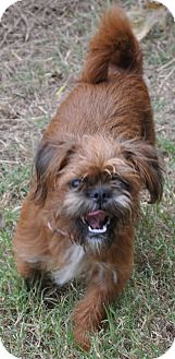 Brussels Griffon/Terrier (Unknown Type, Small) Mix Dog for adoption in Bedminster, New Jersey - Malla