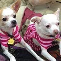 Chihuahua Dog for adoption in Satellite Beach, Florida - Inney & Teeny