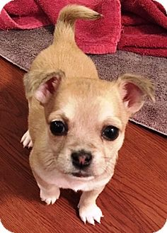 """Maltese/Yorkie, Yorkshire Terrier Mix Puppy for adoption in Oswego, Illinois - I'M ADOPTED Miracles """"Rosie"""""""