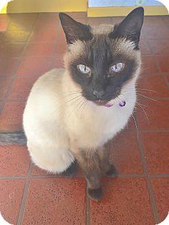 Siamese Cat for adoption in Davis, California - Maisie