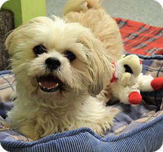 Shih Tzu Dog for adoption in Michigan City, Indiana - Abby & Audi
