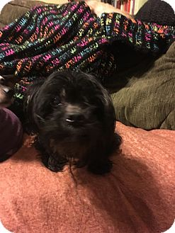 Havanese Mix Dog for adoption in Wrightsville, Pennsylvania - Chilly