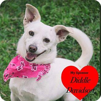 Chihuahua/Dachshund Mix Dog for adoption in San Leon, Texas - Yolo