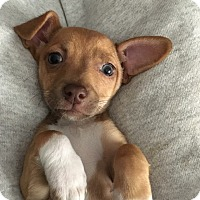 Adopt A Pet :: Lark - San Diego, CA