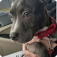 Adopt A Pet :: Violet - Villa Park, IL