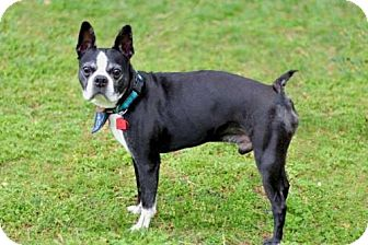 Boston Terrier Mix Dog for adoption in Washington, D.C. - RUDY