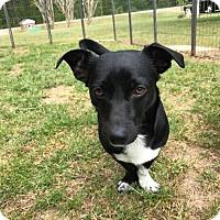 Adopt A Pet :: Sylvester - Cary, NC