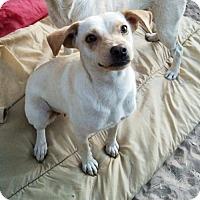 Adopt A Pet :: Chickapea - Olympia, WA