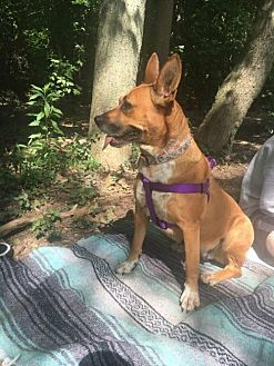 Shepherd (Unknown Type) Mix Dog for adoption in Lorain, Ohio - Lilly