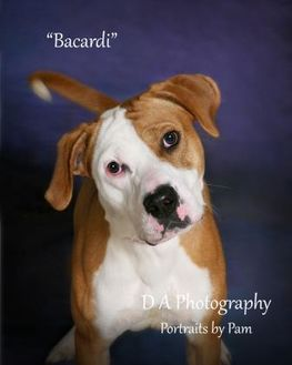 American Pit Bull Terrier Mix Dog for adoption in Fond du Lac, Wisconsin - Bacardi
