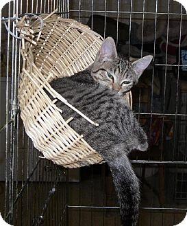 Domestic Shorthair Cat for adoption in Alturas, California - Snooki
