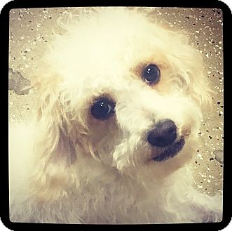 Cockapoo Mix Dog for adoption in Grand Bay, Alabama - Phoebe