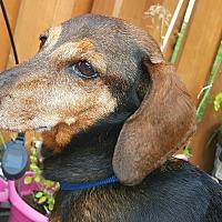 Adopt A Pet :: Cowboy - Andalusia, PA