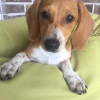 Adopt A Pet :: Beaux - Santa Fe, TX