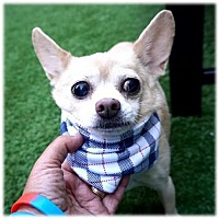 Adopt A Pet :: Cookie Dough 10lb Chi chi - NYC, NY