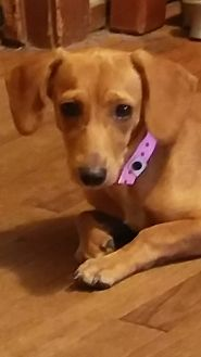 Dachshund Dog for adoption in Pearland, Texas - Dotsie