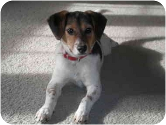 Beagle/Jack Russell Terrier Mix Dog for adoption in Franklin, Virginia - Maggie