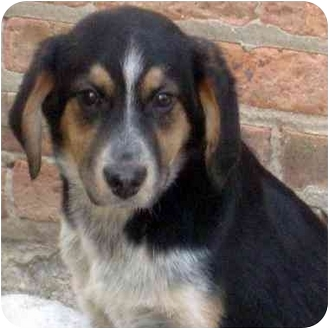 Australian Shepherd/Bernese Mountain Dog Mix Puppy for adoption in Chicago, Illinois - Gavin*ADOPTED!*
