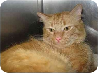 Domestic Longhair Cat for adoption in North Kingstown, Rhode Island - Bobby