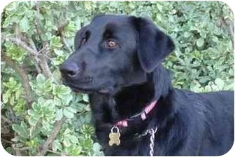 Labrador Retriever Mix Dog for adoption in San Diego, California - DUSTIN