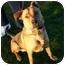 Photo 2 - Labrador Retriever/Shepherd (Unknown Type) Mix Dog for adoption in Auburn, California - Gilbert