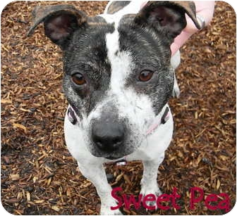 Terrier (Unknown Type, Medium) Mix Dog for adoption in Hockessin, Delaware - Sweet  Pea