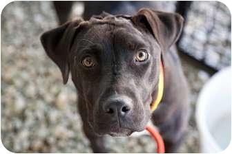 Labrador Retriever/American Pit Bull Terrier Mix Dog for adoption in North Hills, California - Melanie