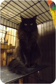 Domestic Longhair Cat for adoption in Modesto, California - Odi
