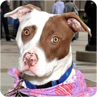 American Pit Bull Terrier Mix Puppy for adoption in Vista, California - Penny