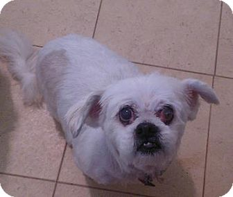 Maltese/Shih Tzu Mix Dog for adoption in Wallingford Area, Connecticut - Sherrie