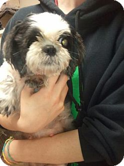 Shih Tzu Dog for adoption in Liberty Center, Ohio - Helen
