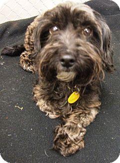 Cockapoo Mix Dog for adoption in Kalamazoo, Michigan - Muffin