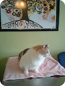 Domestic Longhair Cat for adoption in Harrisburg, North Carolina - Taffy