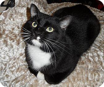 Manx Cat for adoption in Plano, Texas - DAX - MANX LOVERBOY!!!