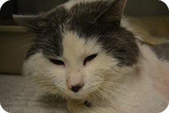 Domestic Longhair Cat for adoption in Edwardsville, Illinois - Peta