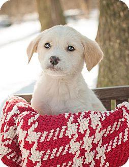 Labrador Retriever Mix Puppy for adoption in Salem, Massachusetts - Brooks