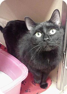 Domestic Shorthair Cat for adoption in McHenry, Illinois - Bagheera