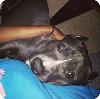 American Pit Bull Terrier Mix Dog for adoption in Milan, Michigan - broc
