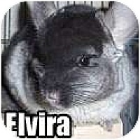 Adopt A Pet :: Elvira - Virginia Beach, VA