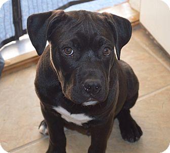 Boxer Mix Puppy for adoption in Glenburn, Maine - Lido-adoption pending