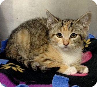 Domestic Shorthair Kitten for adoption in Dublin, California - Arya